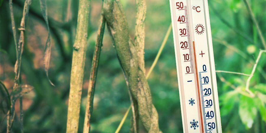 Zorg Voor Een Warme En Vochtige Omgeving - Banisteriopsis Caapi