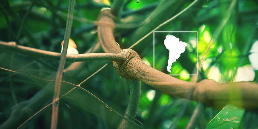 Wat is Banisteriopsis Caapi en Waarom zou je het Zelf Kweken?