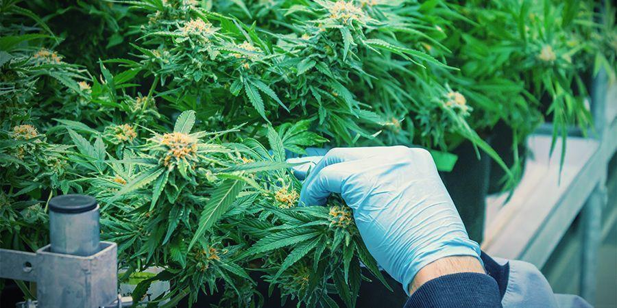 Meerdere Keren Per Jaar Cannabis Oogsten
