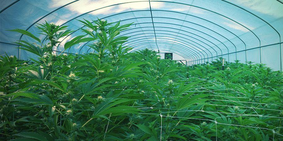 Buiten - non-stop cannabis oogsten