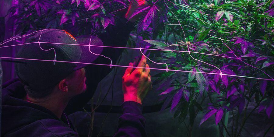 Je kweekruimtes inrichten - non-stop cannabis oogsten