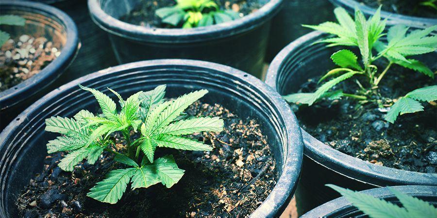 Stekken Maken/Zaden Planten - non-stop cannabis oogsten