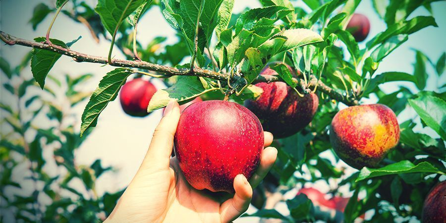 Fruit Tree (Cali Connection)