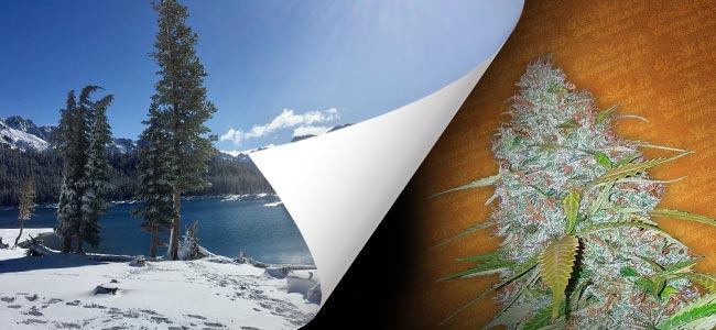 California Snow (FastBuds)