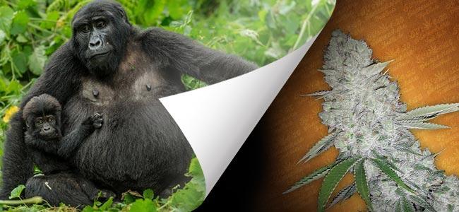 Gorilla Glue (FastBuds)