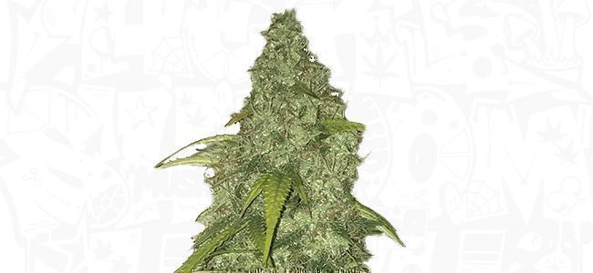 Pineapple Express Absolutely Delicious 2