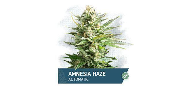 Amnesia Haze Automatic (Zamnesia Seeds)