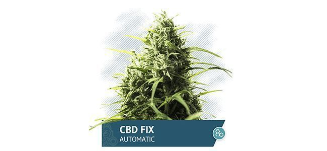 CBD Fix Auto (Zamnesia Seeds)