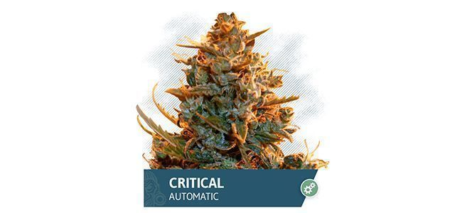 Critical Automatic (Zamnesia Seeds)
