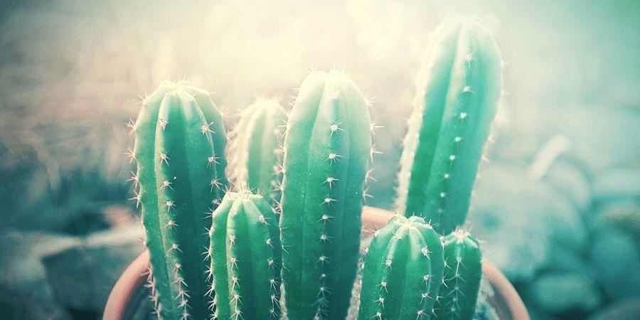 Teveel Zon Is Slecht Voor Een San Pedro Cactus