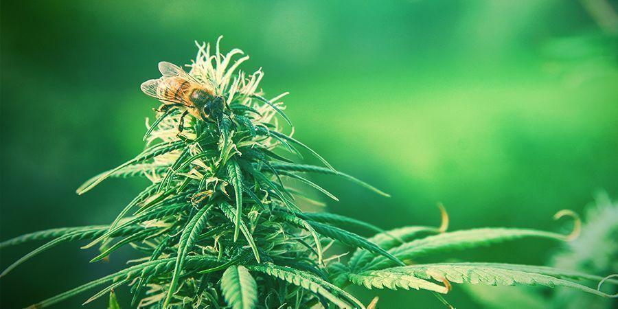 Zamnesia presenteert: Pollen van Holy Seeds Bank
