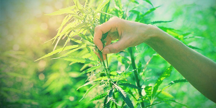 Selecteer Je Cannabis Planten Voor Veredeling