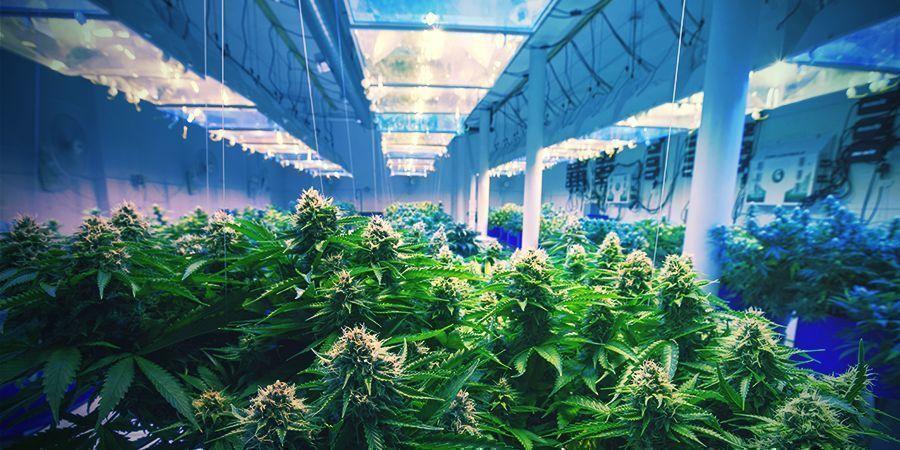 Hoe Stabiliseer Je Je Cannabis Soort