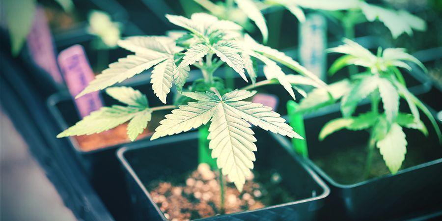 Kleinschalige Veredeling Cannabis