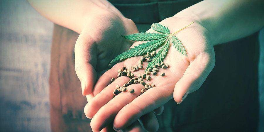 Voordelen Van Terugkruisen Cannabis Planten