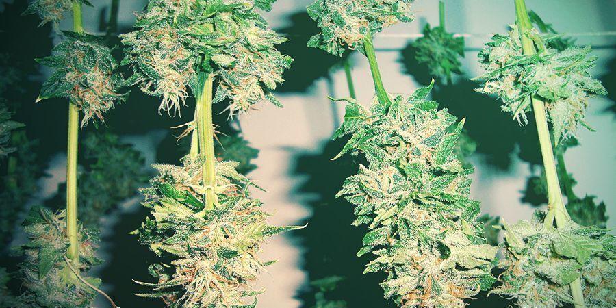 Hoe Je Beschimmelde Cannabis Voorkomt