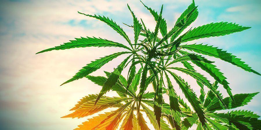 cannabis planten hoge temperatuur