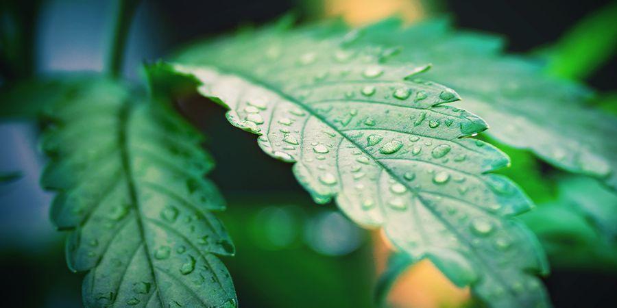 cannabis planten bewateren