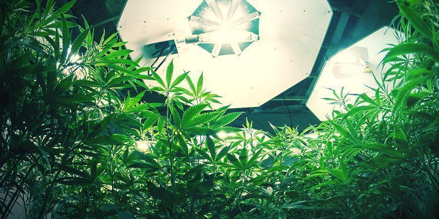 Autoflowering Cannabis Planten