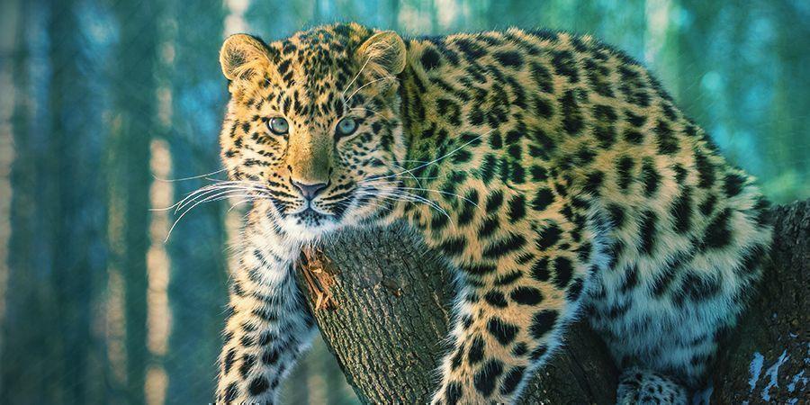 Jaguars Die Graag High Worden: Ayahuasca (Banisteriopsis Caapi)