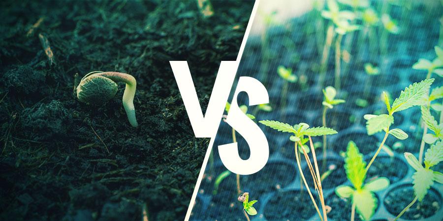 Cannabis Zaden Versus Klonen: WAT ZOU JE MOETEN KIEZEN?