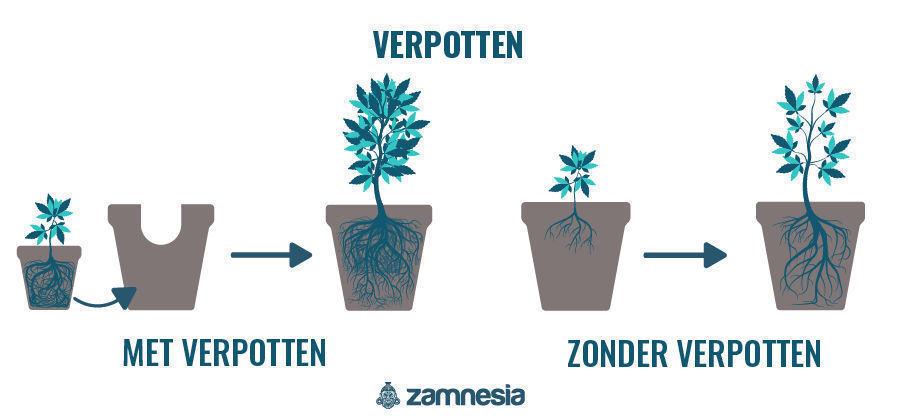 Verpotten Van Cannabis Planten