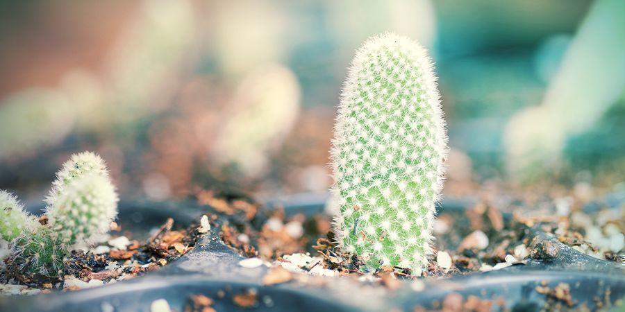 Je Gedroogde En Verharde Cactus-stekken In Potten Zetten