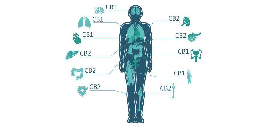 Speelt CBC In De Toekomst Een Rol In Cannabismedicatie?