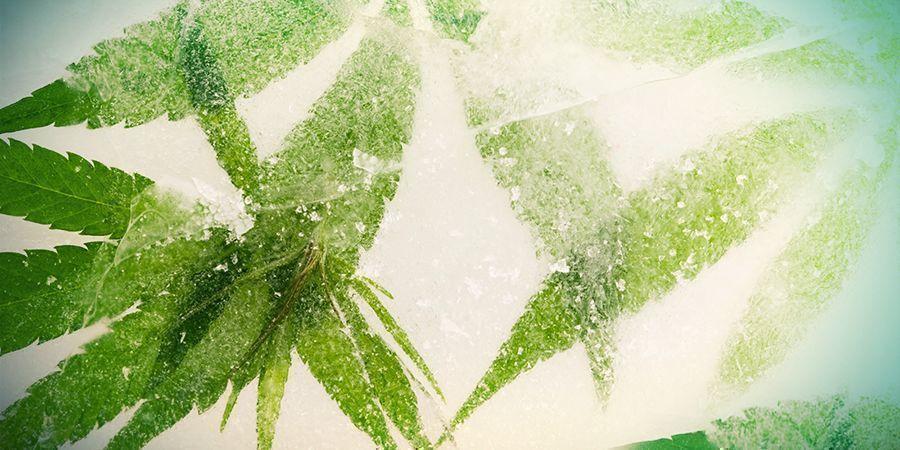 Flash-freezing Van Cannabis