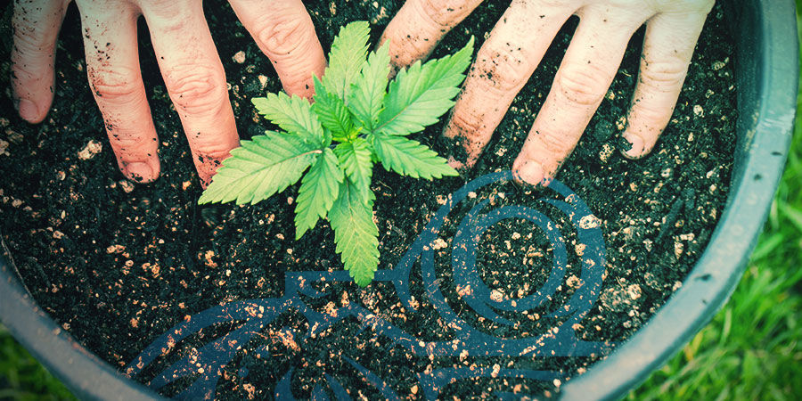 Cannabis-kruisingen: Veredel Je Eigen Cannabisvariëteit