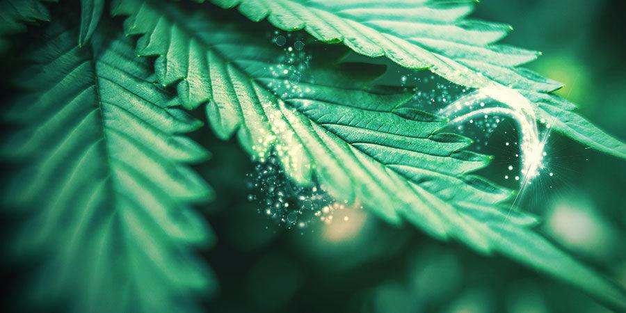 Hoe Selecteer Je Cannabis Fenotypes Om Te Kruisen?