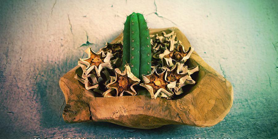 De Meeste Mescaline Zit In De Buitenschil Van De Cactus