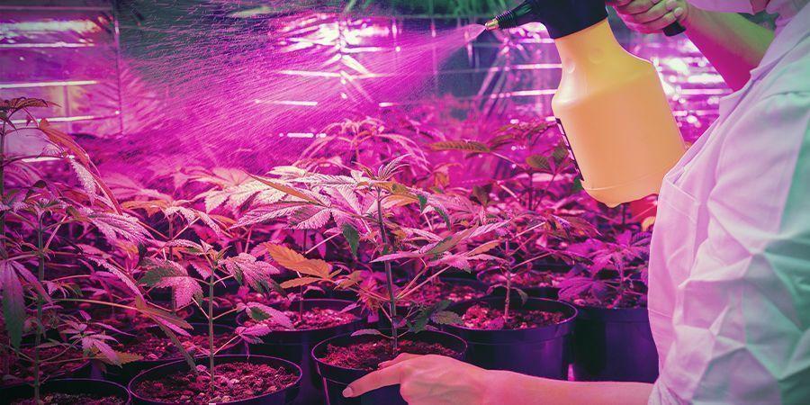 Cannabis Kweek Is Niet Altijd Even Clean
