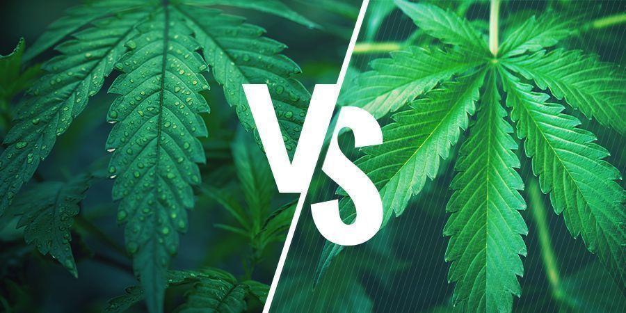 Indica Versus Sativa - Selecteer De Juiste Cannabis Soort