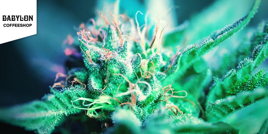 Babylon Coffeeshop - Beste Hybride Cannabis Amsterdam