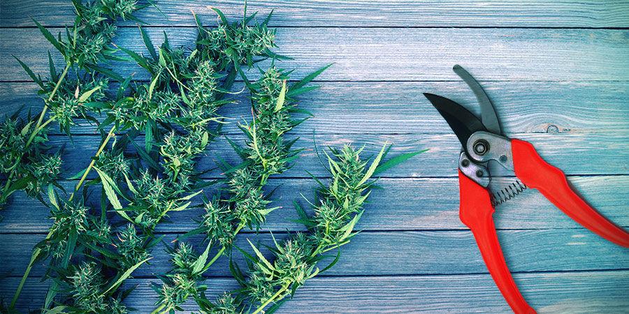 Cannabis Oogsten