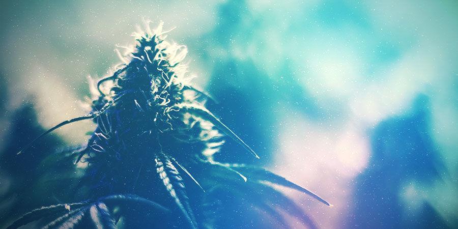Cannabiskweekruimte: Het Kweken Van De Juiste Strain