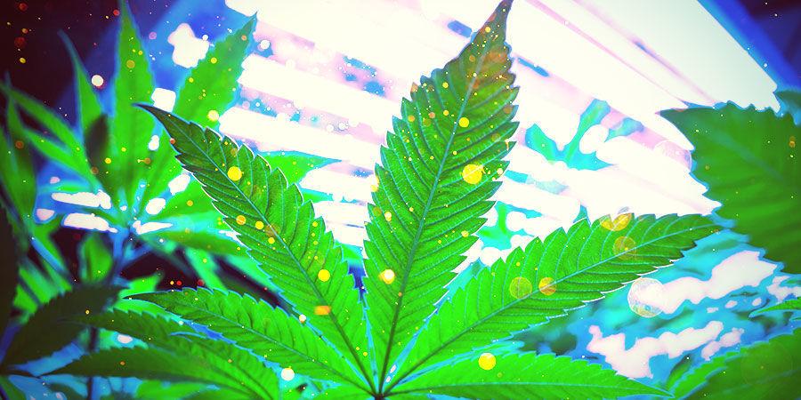 Cannabiskweekruimte: Verlichting