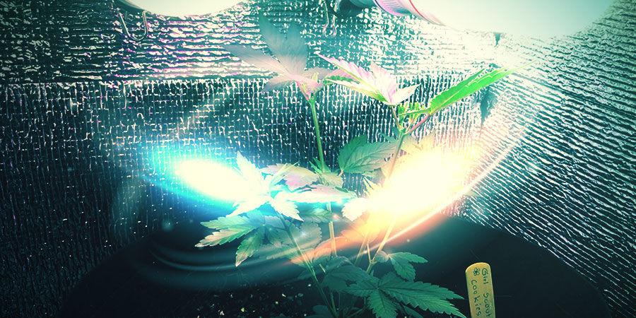 Bedek Je De Muren Van Je Cannabiskweekruimte