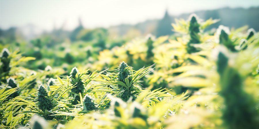 Wiet buiten kweken als eenvoudige manier om geld te besparen