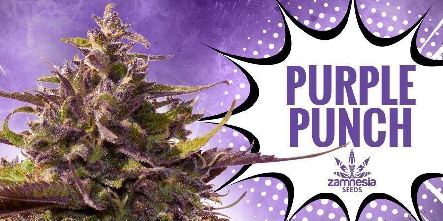 Purple Punch (Zamnesia Seeds)