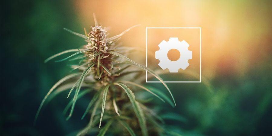 Hoeveel Zonlicht Hebben Autoflower Cannabis Planten Nodig?