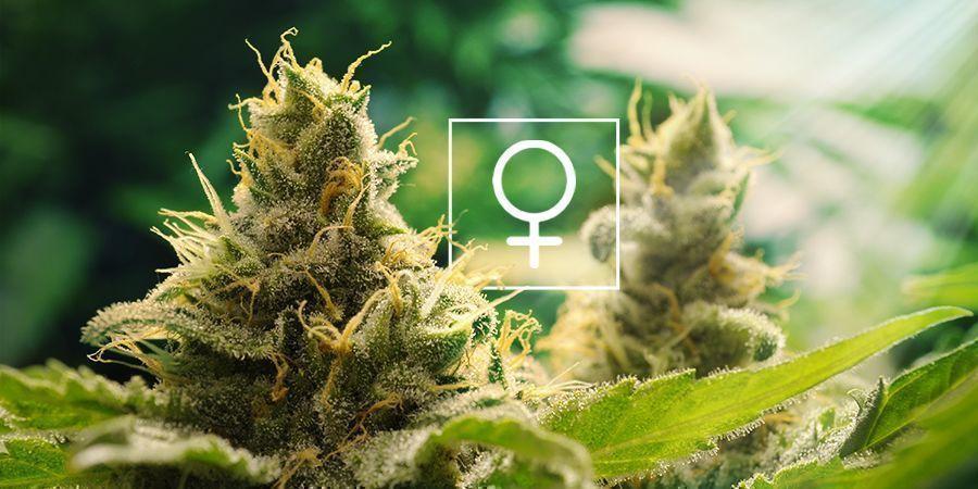 Hoeveel Zonlicht Hebben Feminized Cannabis Planten Nodig?
