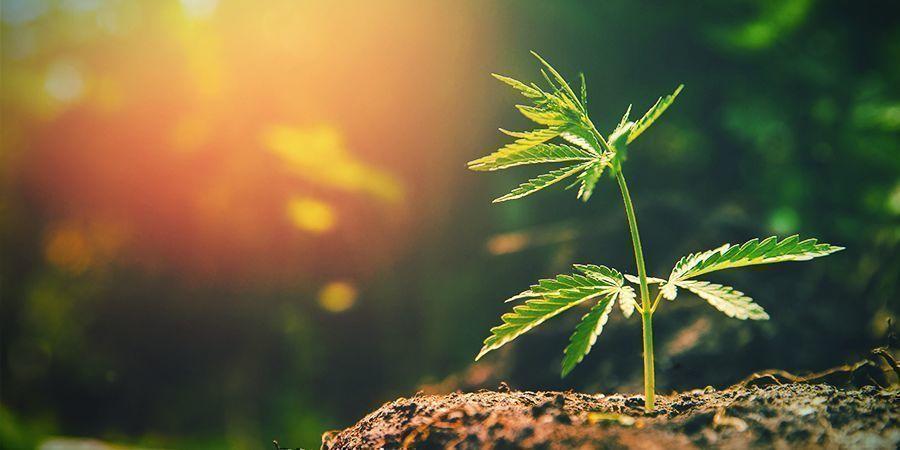 Teveel Zon Cannabis Plant