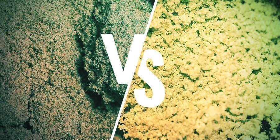Dry Sift Hasj Versus Bubble Hasj