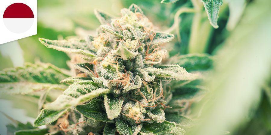 Aceh Cannabis