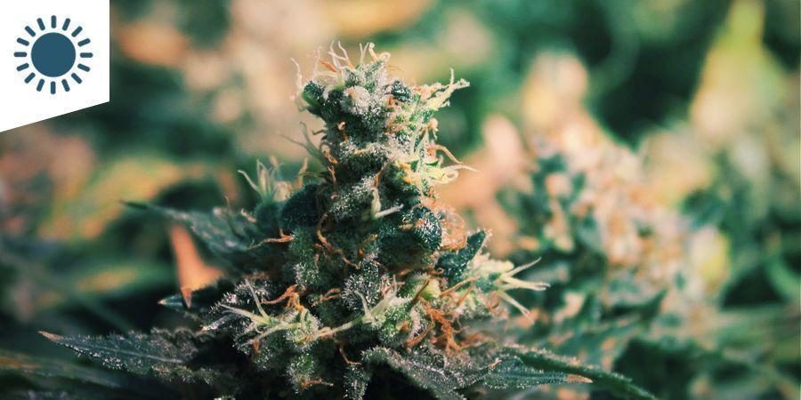 De Beste Cannabissoorten Voor Een Mediterraan Klimaat