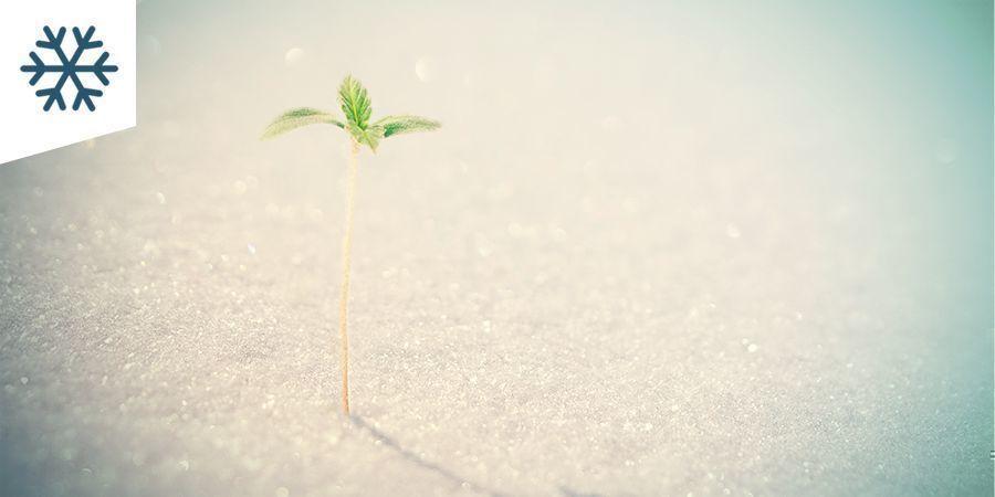 Cannabis Kweken In Een Koud Klimaat