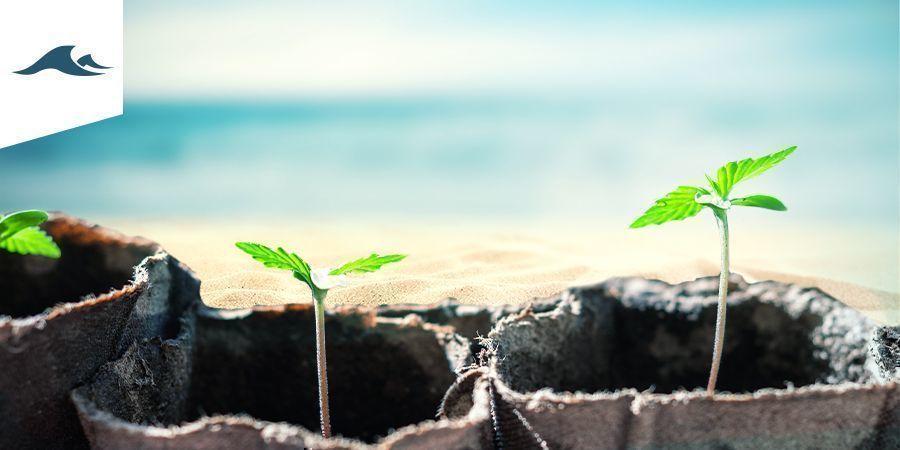 Cannabis Kweken In Een Maritiem Klimaat