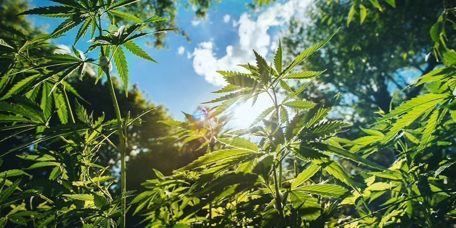 Andere tips voor hoge cannabisplanten